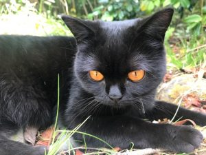 About us British Shorthair cat Coco pet at Riverstone house black with orange eyes