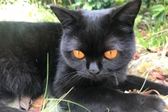 Coco the British Shorthair cat at Riverstone House