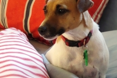 Meg the Riverstone House Jack Russell